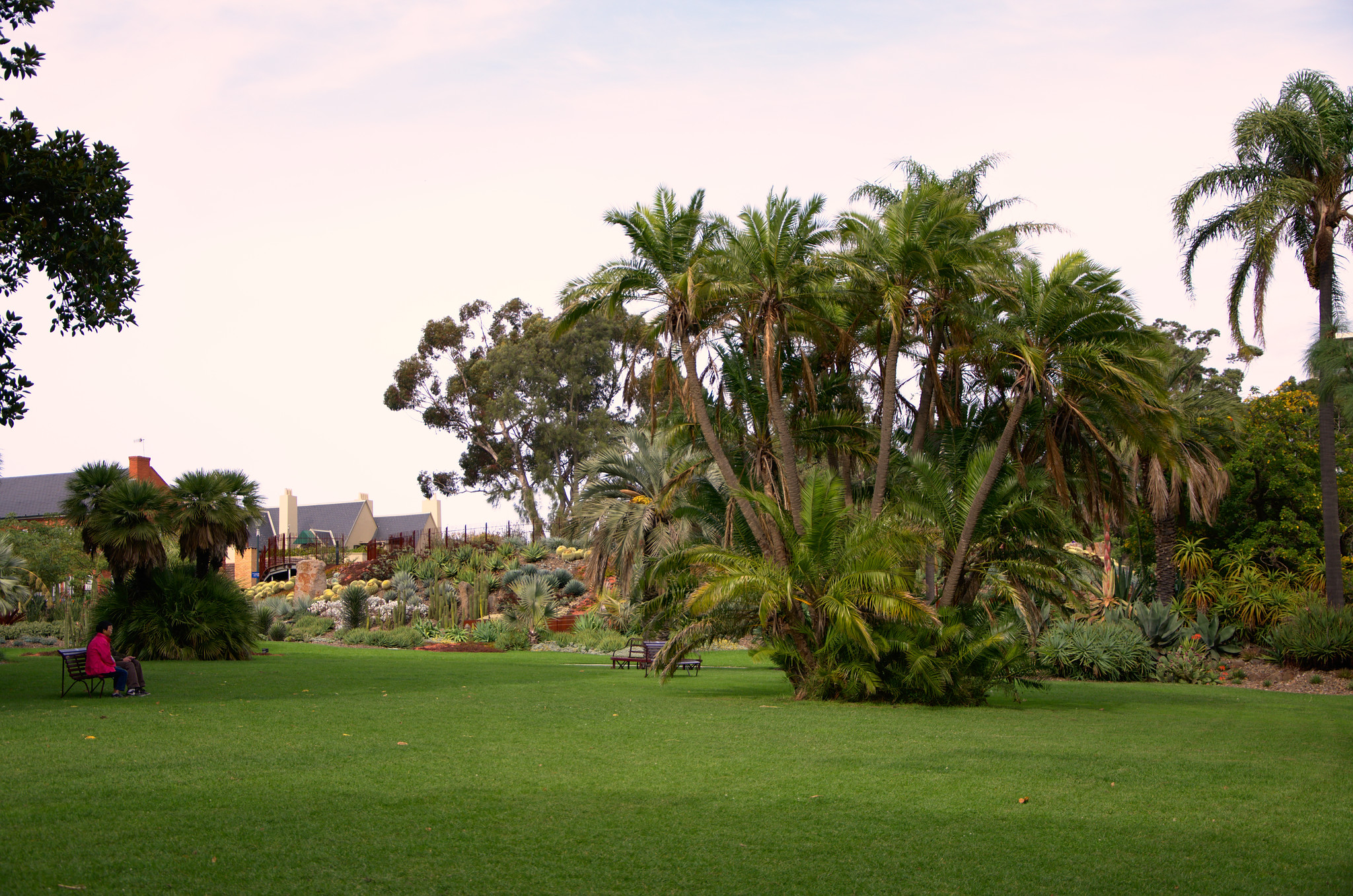 Date palms in Melbourne